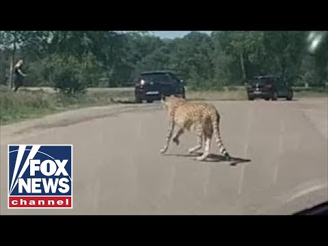 WILD video: Cheetahs threaten family with kids