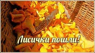 Лисички пошли! | За  1.5 часа набрал корзину лисичек | Сбор грибов в августе| Chanterelle Mushrooms