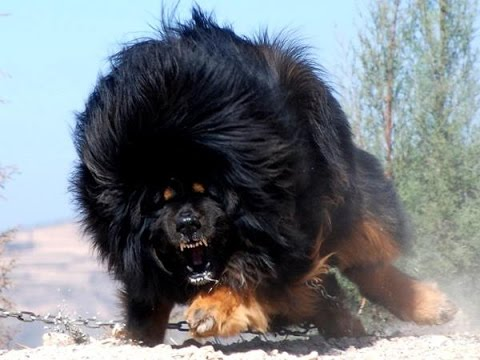 Top Biggest Guard Dogs In The World YouTube - 10 of the worlds biggest pets