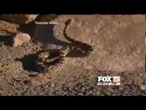 Dangerous snakes appearing in southern Nevada FOX5 Vegas