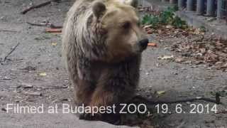 В зоопарке Будапешта медведь спас тонущую ворону(В Интернете набирает огромную популярность видеоролик, на котором медведь в зоопарке спасает тонущую воро..., 2014-08-03T04:37:24.000Z)
