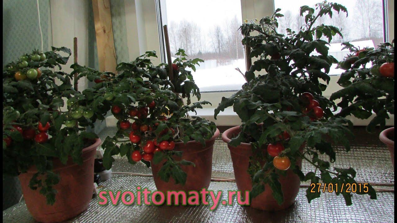 New phones - комнатные томаты выращивание томатов зимой.