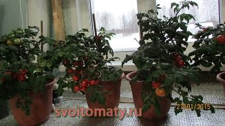 Комнатные томаты  Выращивание томатов зимой(Сорт томатов Красный карлик, подробнее о сорте тут: http://semena.svoitomaty.ru/index.php?route=product/product&path=65&product_id=106 Весь цикл..., 2015-01-28T20:57:07.000Z)