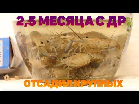 РАКОВАЯ ФЕРМА 2,5 МЕСЯЦА С ДНЯ РОЖДЕНИЯ/ОТСАДИЛ КРУПНЫХ