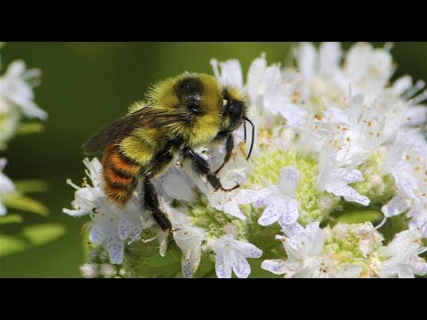'Rusty Patched' bumble bee added to endangered species list – & more may join it