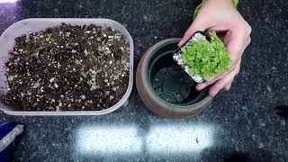 Potting up a Mystery Succulent