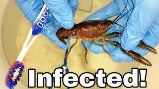 Treating INFECTED CRAWFISH! 🦞  **Toothbrush Method**
