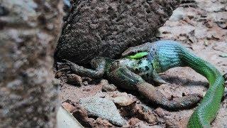 Cobra cipó ou cobra verde comendo sapo