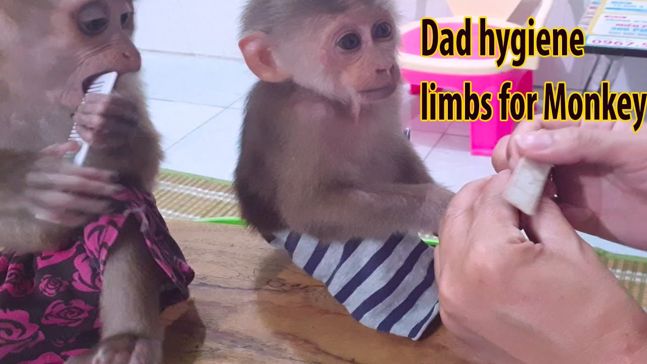Dad takes care of Pedicure for Monkey and loves | Monkey drinks milk every day