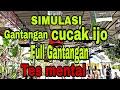 Simulasi Lomba Cucak Hijau Full Gantangan Ful Vidio Latber Berasa Iven Nasional Cocok Untuk Terapi  Mp3 - Mp4 Download