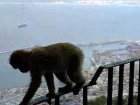 Barbary ape climbing