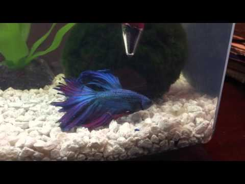 Betta Plays, Bullys, Chases Ghost Shrimp