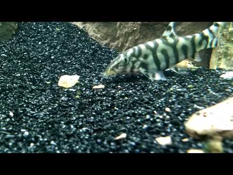 Aquarium Pond Snail Gets Eaten By A Yoyo Loach