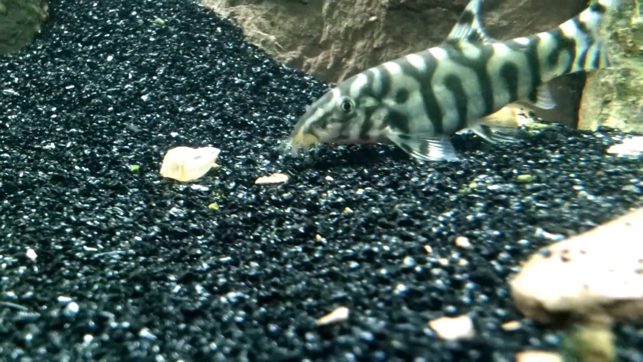 Aquarium pond snail gets eaten by a yoyo loach youtube for Freshwater fish to eat