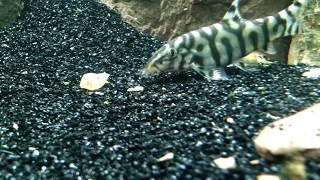 Aquarium pond snail gets eaten by a yoyo loach