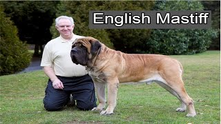 English Mastiff Dog | Petz World