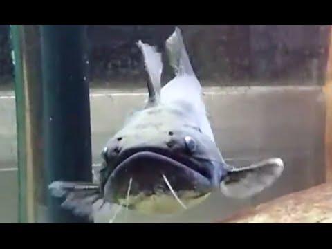 大嘴鯨vs黃金泰國鯽(Asterophysus Batrachus vs Barbodes schwanenfeldii) - YouTube