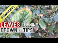 watch he video of PLANT LEAF DRYING and BROWN at TIPS AND EDGES: Top 5 Reasons - Diagnosis Cure and Hacks (Tips)
