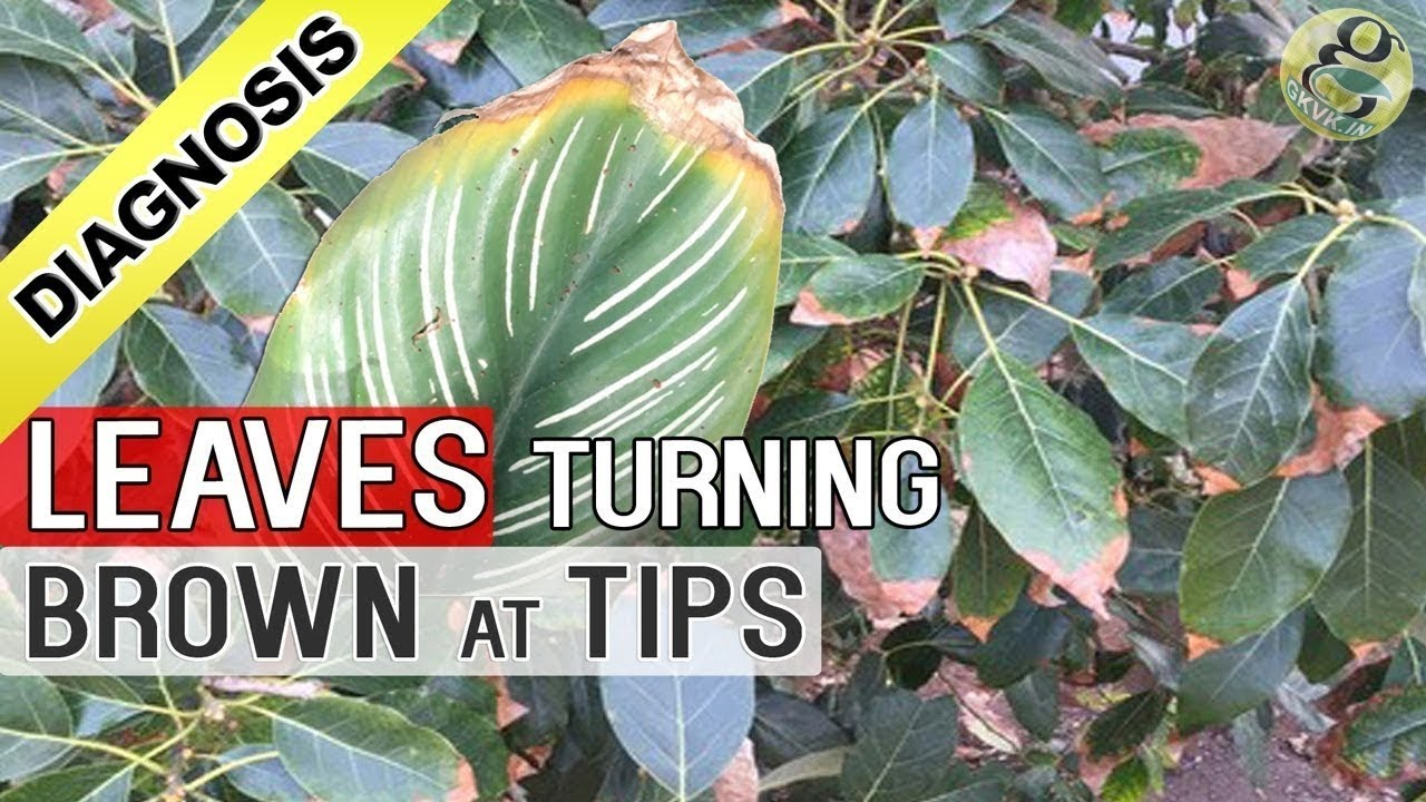 Plant leaf drying and brown at tips and edges top 5 reasons youtube premium izmirmasajfo