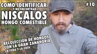 Como no Encontrar NISCALOS y como RECONOCERLOS #10 HONGOS COMESTIBLES.