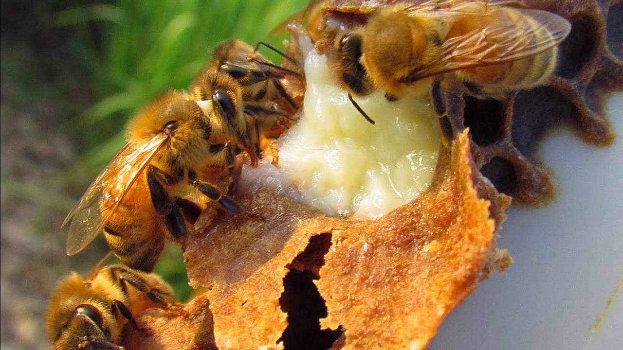 que es la jalea real de abeja