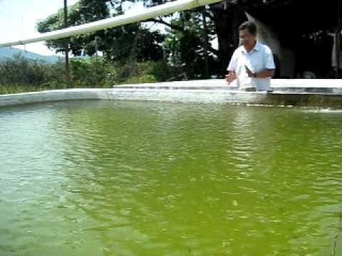 Guerrero criadero de tilapias youtube for Criaderos de pescados colombia