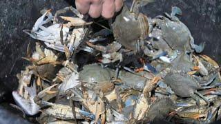 Invasive blue crabs pinch pockets of Albanian fishermen | AFP