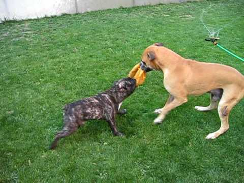 bulldog frances vs boxer - YouTube
