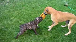 Bulldog Frances Vs Boxer