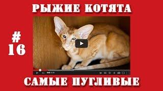 Видео приколы | #16 | Рыжие котята самые пугливые.