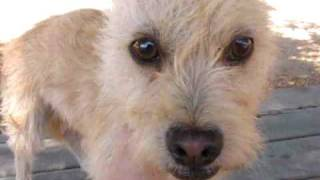 Adopted - Ziggy The Cairn Terrier Rescued From A Southern Ca Kill Shelter