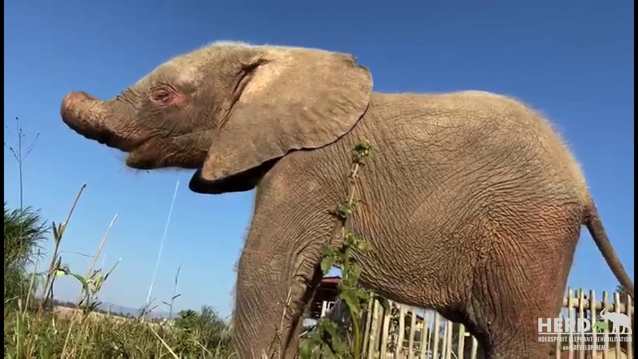 One Happy Playful Morning with Elephant Orphan, Khanyisa