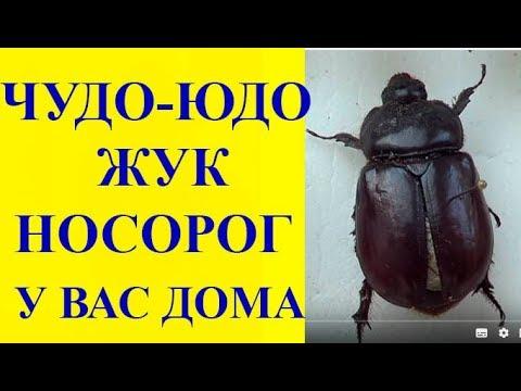 Чудо-Юдо Жук-Носорог в Вашем доме. Oryctes Nasicornis - Rhyno Beetle