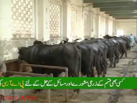 Livestock Cow And Buffalo Farming In Urdu And Hindi
