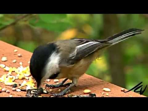 Black-capped Chickadee [HD] - SONY HDR AX2000 Wow!