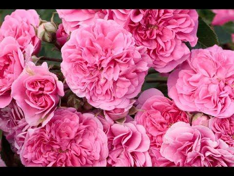 Розы для уральского климата
