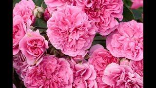 видео Канадске розы сорта для Урала и Сибири