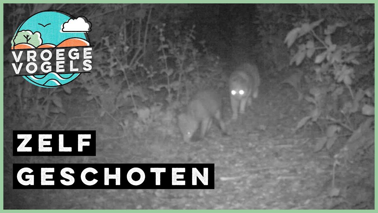 Steenmarter volgt huiskat die vos volgt | Zelf Geschoten | Vroege Vogels