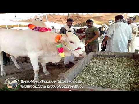 Cow Mandi 2013, Shahpur Kanjra Mandi 2013