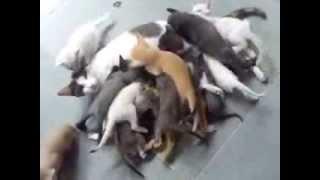 мама кошка и много котят