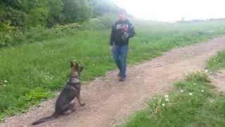 German Shepherd sit/down/stay training-5month old