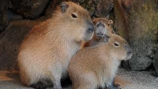 カピバラ(英語:Capybara、スペイン語:Capibara、ポルトガル語:Capiv...