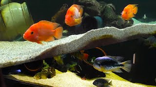 Fish Room Tours Episode #3 Shawn Armentrout Central and South American Cichlids