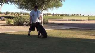 Doberman - Doberman Pinscher - Obedience Training - Rusty