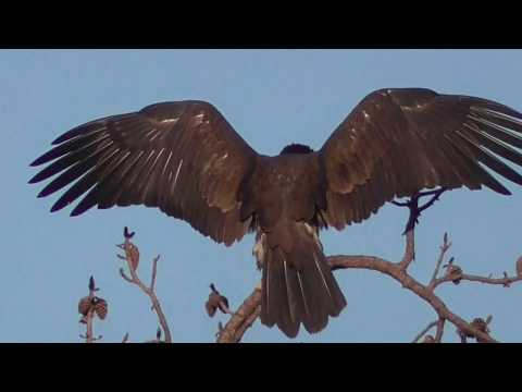 """SWFL Eagles_Both Hunt For Duck - """"Get Out Of My Space"""" - Soaring Together 04-17-18"""