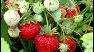 видео Клубника на балконе – советы по выращиванию от опытных садоводов