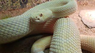 Змея, которую всё бесит, кормление не варана тегу и игуаны