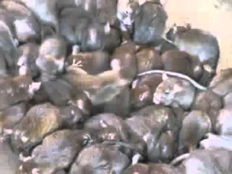 Инервю с роми   Борба с мишки