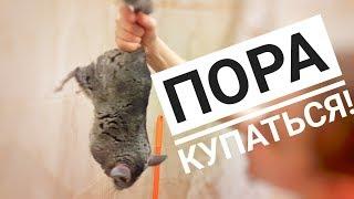 Как искупать хомячка и шиншиллу / How to bathe a hamster and a chinchilla
