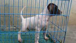 Pointer Puppies For Sale Litter2 Pup2 Male